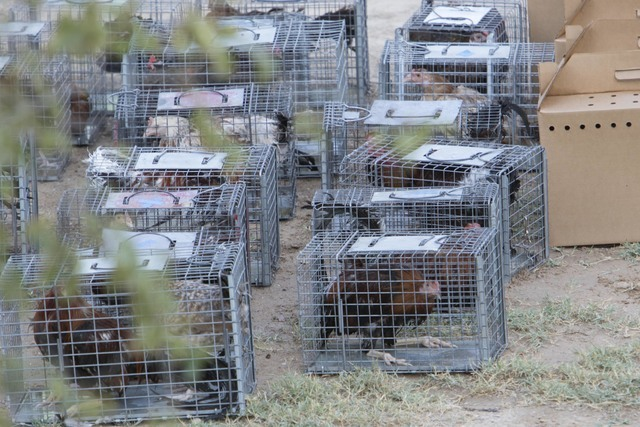 Birds are seen in cages and boxes at a residence in the 4700 block of Stanley Avenue near Marion Drive on Wednesday, August 3, 2016, where Metro police served a search warrant recovering birds inv ...