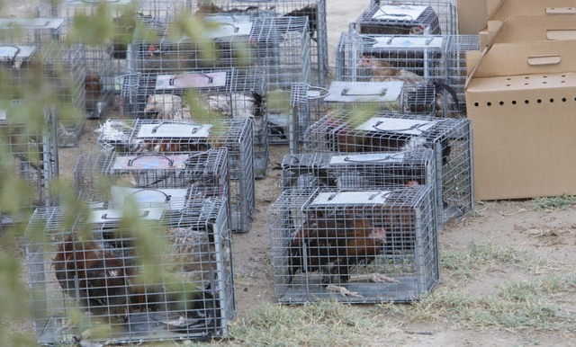 Birds are seen in cages and boxes at a residence in the 4700 block of Stanley Avenue near Marion Drive in Las Vegas on Wednesday, Aug. 3, 2016, where Metro police served a search warrant recoverin ...