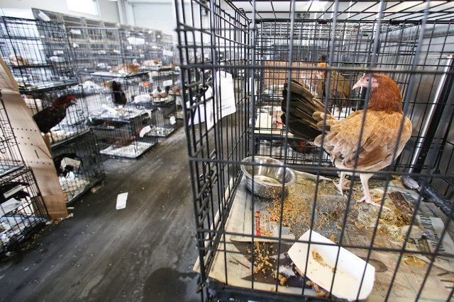 Chickens wait in their cages on Thursday, Aug. 4, 2016, at the Animal Foundation in Las Vegas. More than 550 birds were recovered from the operation. (Brett Le Blanc/Las Vegas Review-Journal) Foll ...