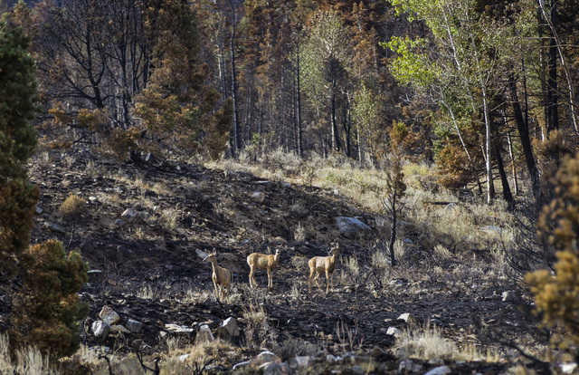 Deer make their way through an area damaged by the Strawberry Fire at Great Basin National Park on Thursday, Aug. 25, 2016.(Chase Stevens/Las Vegas Review-Journal) Follow @csstevensphoto