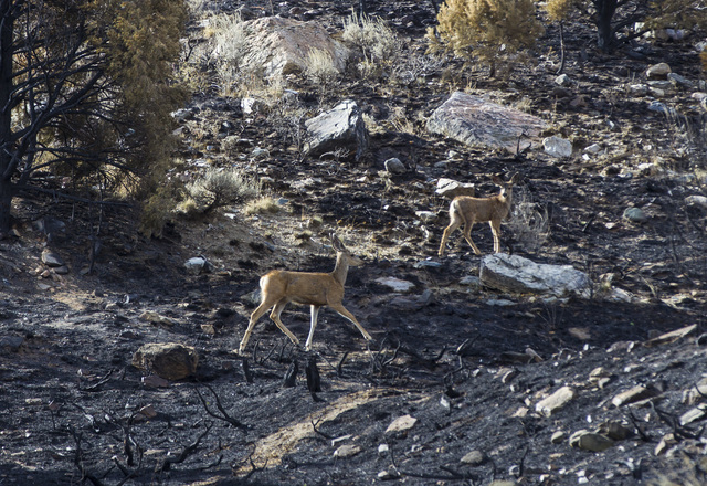 Deer make their way through an area damaged by the Strawberry Fire at Great Basin National Park on Thursday, Aug. 25, 2016. Chase Stevens/Las Vegas Review-Journal Follow @csstevensphoto
