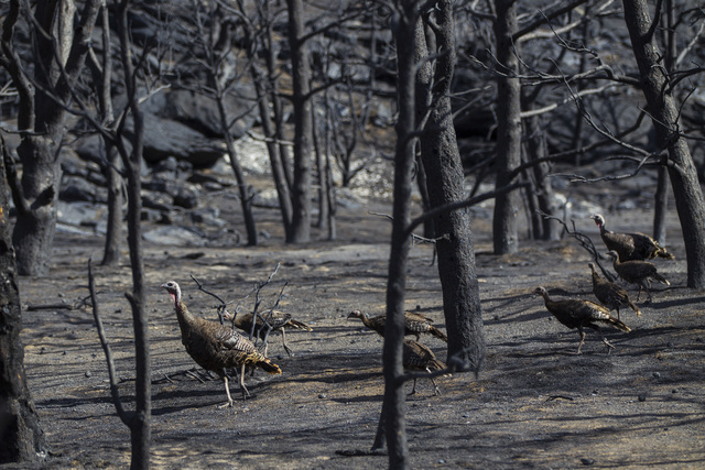 Wild turkeys roam through areas damaged by the Strawberry Fire at Great Basin National Park on Thursday, Aug. 25, 2016. Chase Stevens/Las Vegas Review-Journal Follow @csstevensphoto