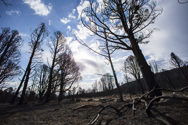Damage from the Strawberry Fire is shown on Bureau of Land Management land just outside of Great Basin National Park on Thursday, Aug. 25, 2016. Chase Stevens/Las Vegas Review-Journal Follow @csst ...