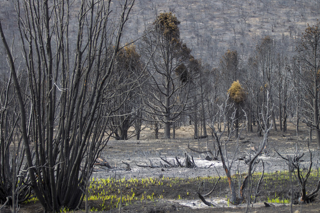 Grass grows in an area damaged by the Strawberry Fire in Bureau of Land Management land just outside of Great Basin National Park on Thursday, Aug. 25, 2016. Chase Stevens/Las Vegas Review-Journal ...