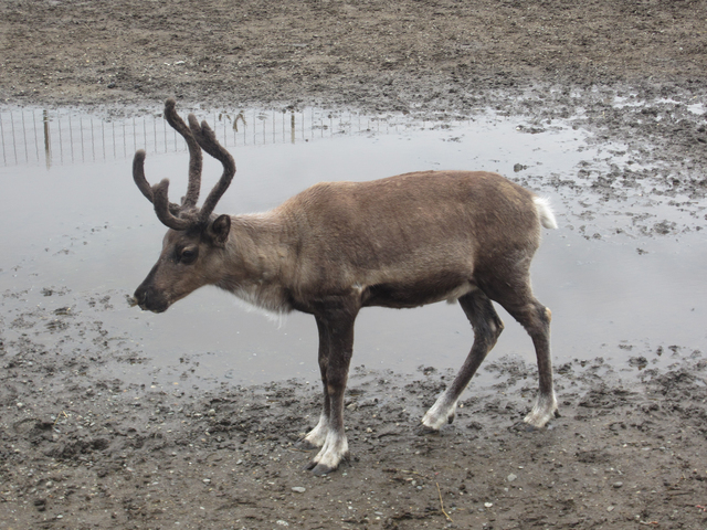 More than 300 reindeer, similar to this one, were killed by a lightning strike. (Courtesy Whitney Hopler)