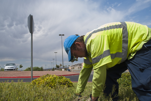 Justin Dalton works to remove weeds outside the Galleria Mall in Henderson on Friday, Aug. 19, 2016. (Daniel Clark/Las Vegas Review-Journal Follow @DanJClarkPhoto)