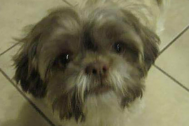 Mr. Chops, a Shih-Tzu that died while in the care of Henderson Animal Control after being left inside one of the department's vehicles and found on Friday, is shown in an undated family photo. ( ...