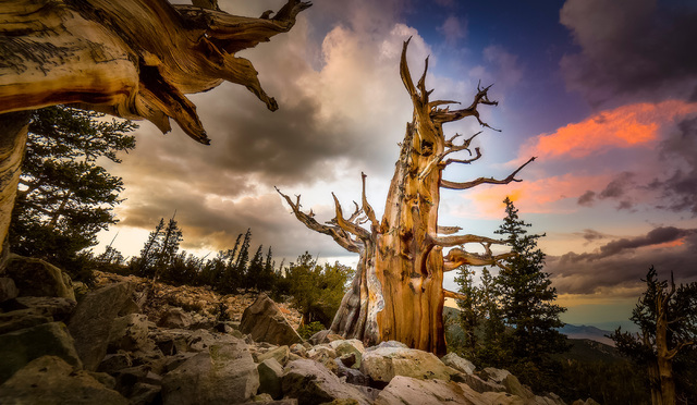"""A bristlecone pine lifts its ancient arms to the sky at Great Basin National Park in an image by Kelly Carroll from the """"Home Means Nevada"""" exhibit now on display at the Senate Russell Building on ..."""