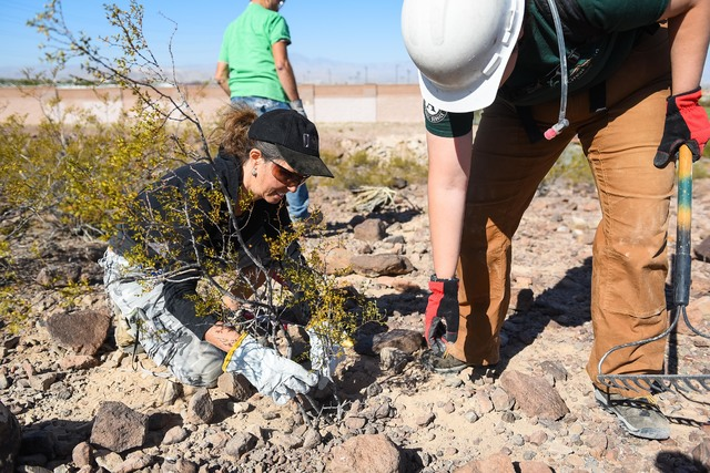 Members of the Veterans Conservation Corps and other volunteers work on trail improvements Friday at Anthem Hills Park in Henderson. Image courtesy of Al Powers