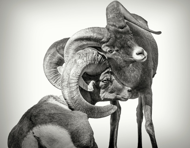 """Two male bighorn sheep scratch each other with their horns in an image by acclaimed wildlife photographer Sharon Schafer from the """"Home Means Nevada"""" exhibit now on display at the Senate Russell B ..."""