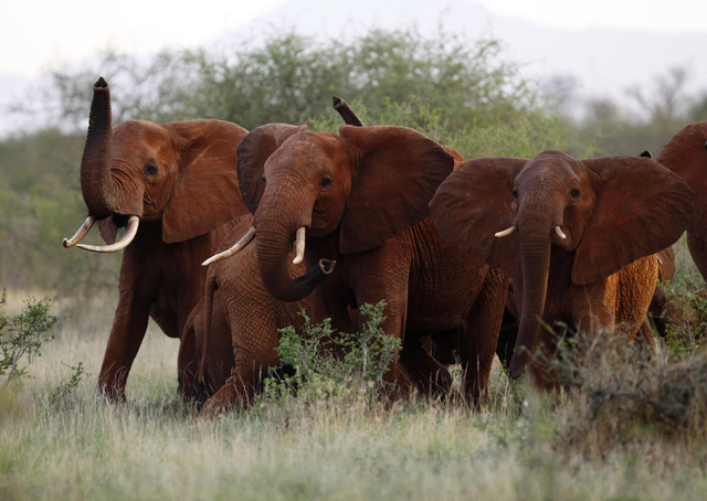 In this file photo taken Tuesday, March 9, 2010, elephants use their trunks to smell for possible danger in the Tsavo East national park, Kenya. Some African elephant herds are adapting to the dan ...
