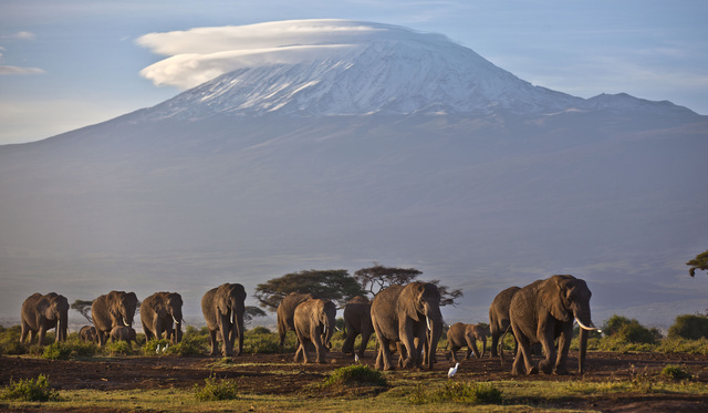 A herd of adult and baby elephants walks in the dawn light as the highest mountain in Africa, Tanzania's Mount Kilimanjaro, is seen in the background, in Amboseli National Park, southern Kenya. (B ...