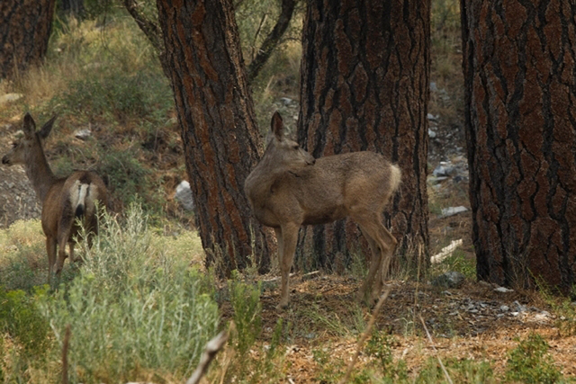 In this undated photo, mule deer are seen near Kyle Canyon Road at the Rainbow subdivision turnoff near the Carpenter 1 Fire. (Jeff Scheid/Las Vegas Review-Journal/file)