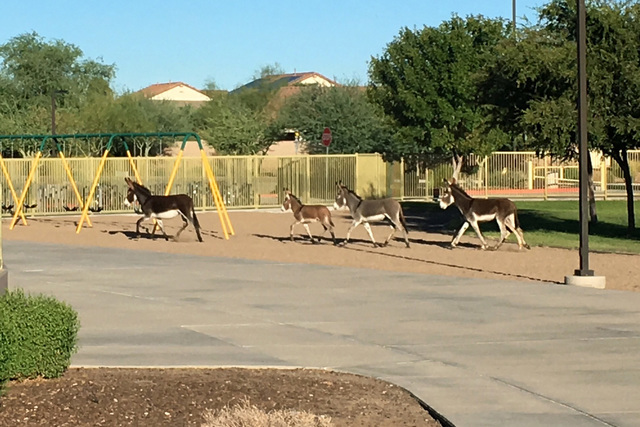 Four burros walk on the grounds of Vistancia Elementary School in Peoria, Ariz., on Thursday, Sept. 15, 2016.  (Dustin Hamman via The Associated Press)