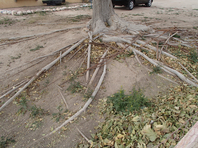 COURTESY Keep areas dry where you do not want roots because the roots of mulberry can be extremely invasive, and grow where there is water and nutrients.