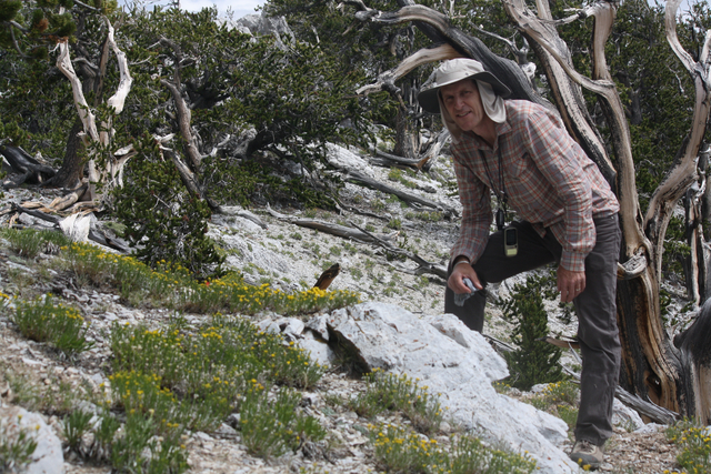 UNLV biologist Daniel Thompson poses next to habitat for the endangered Mount Charleston blue butterfly in this undated photo taken in grove of bristlecone pine trees in the Spring Mountains. (Cou ...