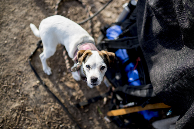 A dog is connected to it's owner's pack in Commons Park, Wednesday, Aug. 31, 2016, in Denver. Elizabeth Page Brumley/Las Vegas Review-Journal Follow @ELIPAGEPHOTO
