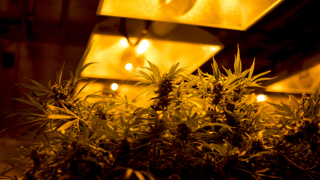 Marijuana plants grow in Medicine Man, a family owned dispensary in Denver Colorado, Friday, Sept. 2, 2016. Elizabeth Page Brumley/Las Vegas Review-Journal Follow @ELIPAGEPHOTO