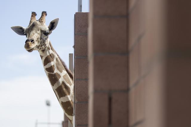Ozzie the giraffe looks over a newly built enclosure at the Lion Habitat Ranch in Henderson on Wednesday, Sept. 7, 2016, in Las Vegas. Erik Verduzco/Las Vegas Review-Journal Follow @Erik_Verduzco