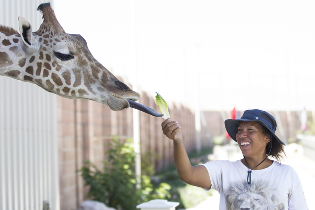 Ozzie is fed by Cristina Cuellar, manager at the Lion Habitat Ranch, inside the giraffe's newly built enclosure at the Lion Habitat Ranch in Henderson on Wednesday, Sept. 7, 2016, in Las Vegas. Er ...