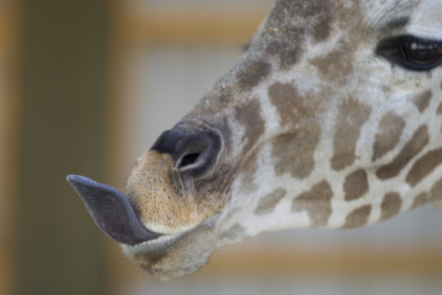 Ozzie the giraffe plays with its mouth after getting fed a snack in its newly built enclosure at the Lion Habitat Ranch in Henderson on Wednesday, Sept. 7, 2016, in Las Vegas. Erik Verduzco/Las Ve ...