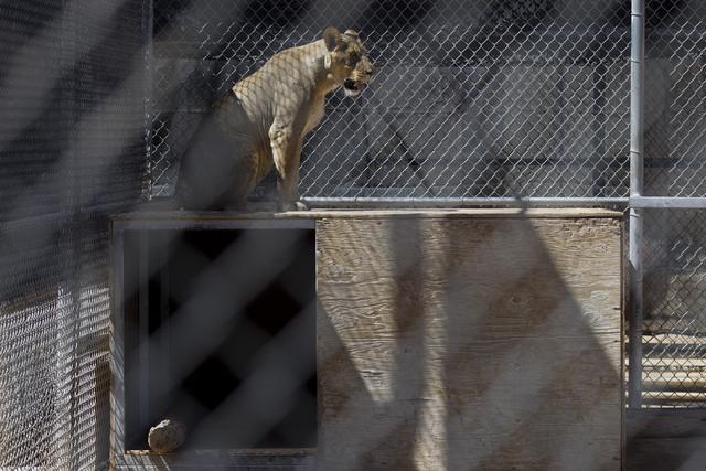 A lion sits inside an enclosure at the Lion Habitat Ranch in Henderson on Wednesday, Sept. 7, 2016, in Las Vegas. Erik Verduzco/Las Vegas Review-Journal Follow @Erik_Verduzco