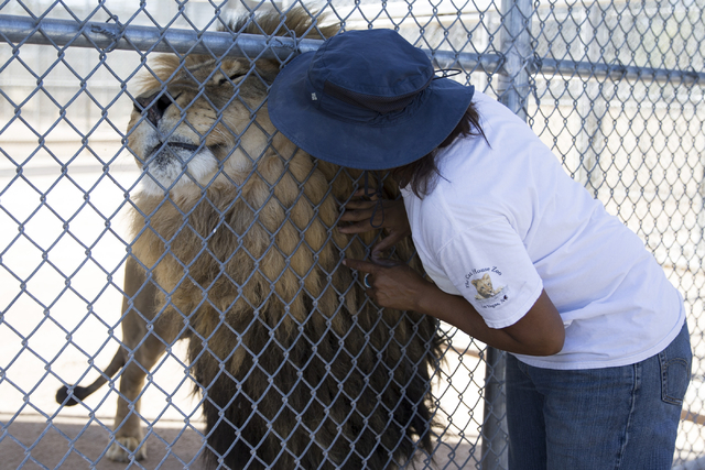 Cristina Cuellar, manager at the Lion Habitat Ranch, interacts with a lion during a tour at the Lion Habitat Ranch in Henderson on Wednesday, Sept. 7, 2016, in Las Vegas. Erik Verduzco/Las Vegas R ...