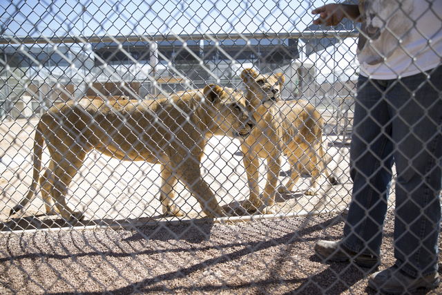 Two lions keep their eyes on Cristina Cuellar, manager and handler at the Lion Habitat Ranch, during a tour at the Lion Habitat Ranch in Henderson on Wednesday, Sept. 7, 2016, in Las Vegas. Erik V ...