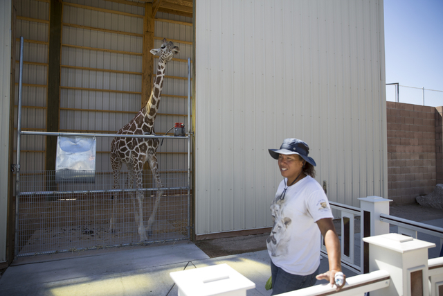 Ozzie the giraffe looks from its newly built enclosure at the Lion Habitat Ranch in Henderson on Wednesday, Sept. 7, 2016, in Las Vegas. Erik Verduzco/Las Vegas Review-Journal Follow @Erik_Verduzco