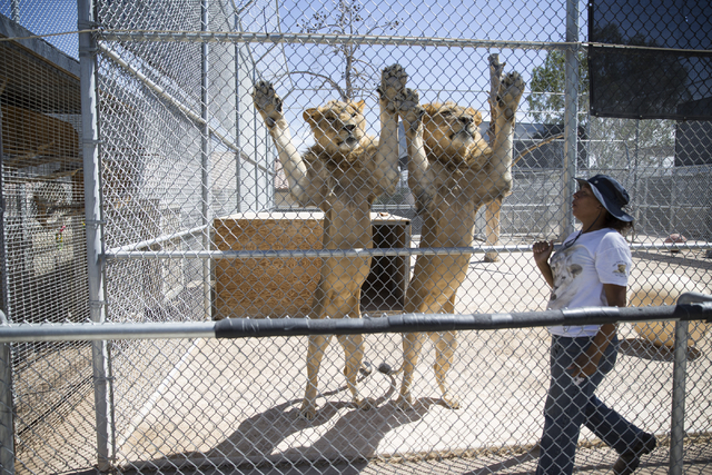 Two lions wait to be fed more by Cristina Cuellar, manager at the Lion Habitat Ranch, during a tour at the Lion Habitat Ranch in Henderson on Wednesday, Sept. 7, 2016, in Las Vegas. Erik Verduzco/ ...