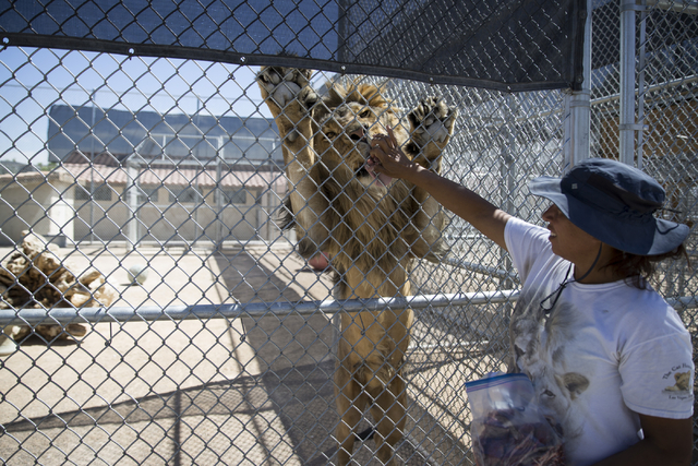 Cristina Cuellar, manager at the Lion Habitat Ranch, feeds meat to a lion during a tour at the Lion Habitat Ranch in Henderson on Wednesday, Sept. 7, 2016, in Las Vegas. Erik Verduzco/Las Vegas Re ...