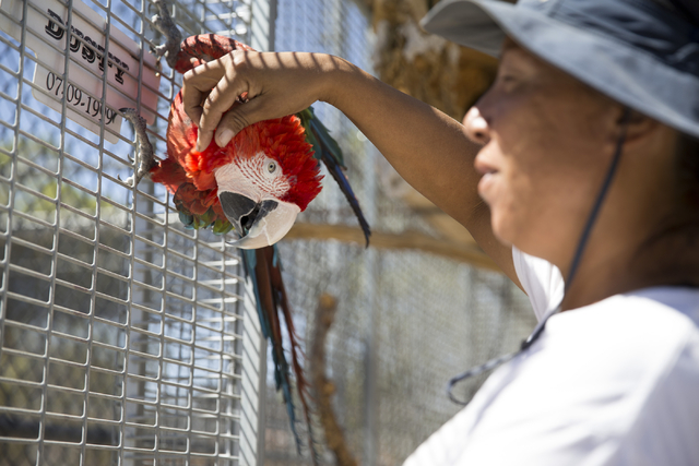 Cristina Cuellar, manager and handler at the Lion Habitat Ranch, interacts with Angelo the macaw during a tour at the Lion Habitat Ranch in Henderson on Wednesday, Sept. 7, 2016, in Las Vegas. Eri ...