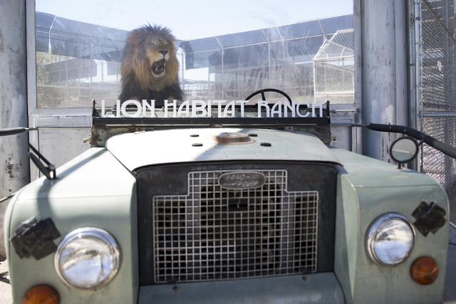 Bentley the lion lays inside his enclosure near the entrance of the Lion Habitat Ranch in Henderson on Wednesday, Sept. 7, 2016, in Las Vegas. Erik Verduzco/Las Vegas Review-Journal Follow @Erik_V ...