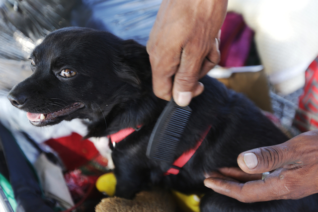 Carl Albert Graves combs his dog Chico's fur at the encampment he shares with his fiancé behind EZ Pawn on Saturday, Sept. 17, 2016, in Las Vegas. Rachel Aston/Las Vegas Review-Journal Follow ...
