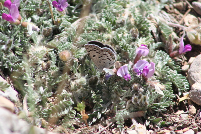 A female Mount Charleston blue butterfly prepares to lay an egg on a host plant in this undated photo taken in the Spring Mountains, the only place in the world where the endangered insect is foun ...