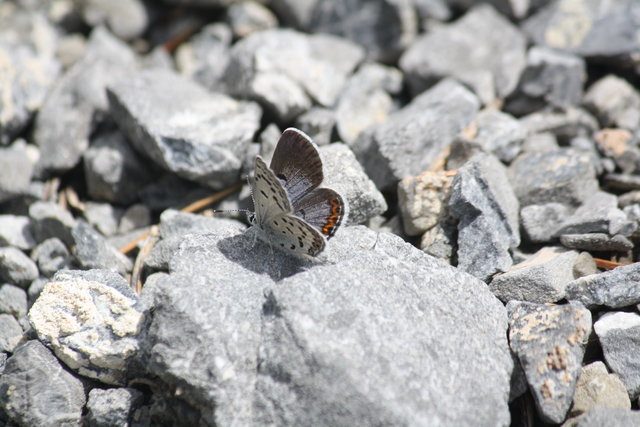 A female Mount Charleston blue butterfly perches on a rock in this undated photo taken in the Spring Mountains. (Courtesy of Daniel Thompson, UNLV)