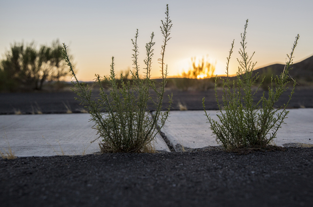 Weeds grow unchecked on the roadway at Searchlight Airpark subdivision on Sunday, Sept. 4, 2016, in Searchlight, Nev. (Benjamin Hager/Las Vegas Review-Journal)