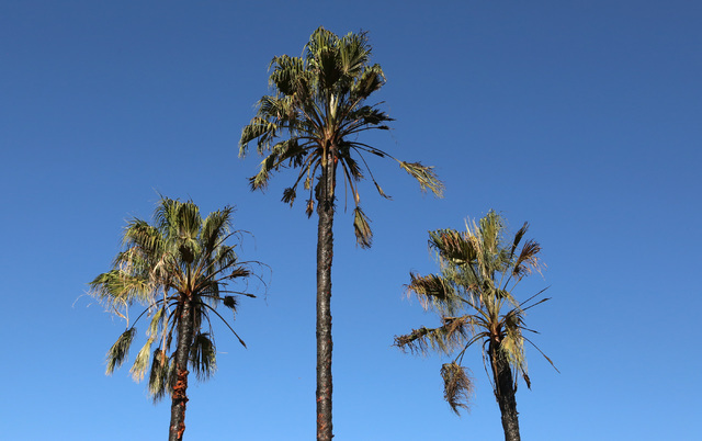 Fire-damaged palm trees are seen at Paradise Spa Apartments, 9457 Las Vegas Blvd. South,  where 20 people were displaced after a fire heavily damaged eight apartments late Tuesday night, Sept. 6,  ...