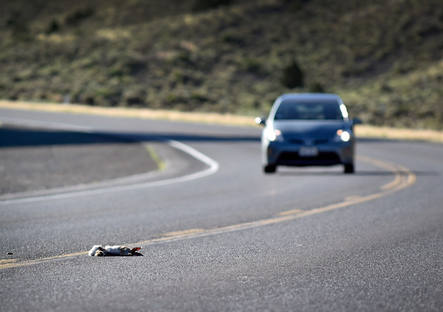 Road kill is a common site along U.S. Highway 50 as a motorist approached a dead rabbit west of Eureka, Nev. Wednesday, July 13, 2016. Since a 1986 Life magazine which dubbed the Nevada portion of ...