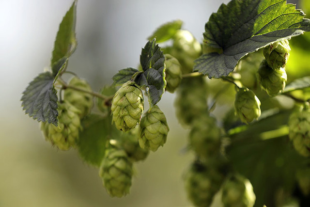 In this Friday, Sept. 2, 2016 photo ripe hop flowers hang from hop plants at the Hamblen Farm in Gorham, Maine. Hops are used in brewing beer to give the beverage it's bitter flavor. (Robert F. Bu ...