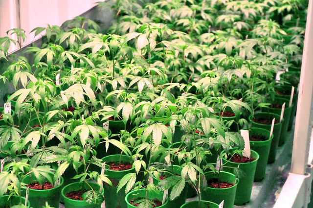 Medical marijuana plants at a cultivation facility in Pahrump. A Las Vegas Review-Journal poll on a state ballot question to make recreational pot legal in Nevada shows voters are split on the iss ...