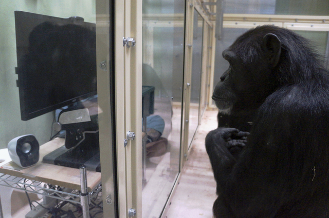 This photo provided by Kumamoto Sanctuary, Japan, and Max-Planck Institute for Evolutionary Anthropology, Germany, shows chimpanzee Kumamoto eye-tracking. A new study finds that our primate relati ...