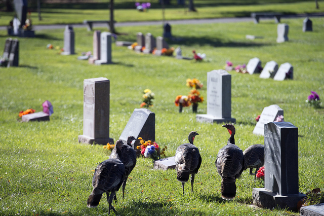 In this Wednesday, Oct. 26, 2016 photo, wild turkeys walk through the Davis Cemetery in Davis, Calif. The Davis City Council voted this week to approve a wild turkey management plan that includes  ...