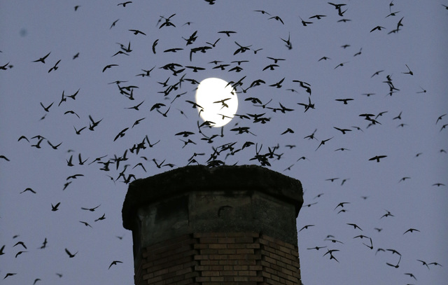 Migratory Birds Try To Find New Shelters As Chimneys Come