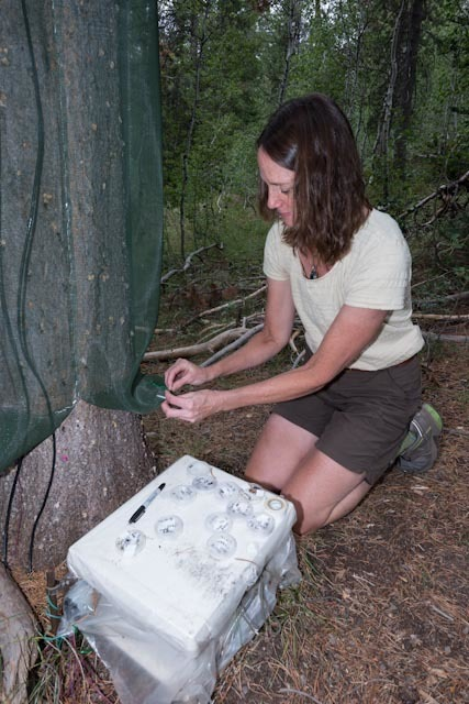 U.S. Forest Service researcher Barbara Bentz checks traps for signs of mountain pine beetle damage. Warming temperatures linked to climate change have triggered an explosion of the destructive bug ...