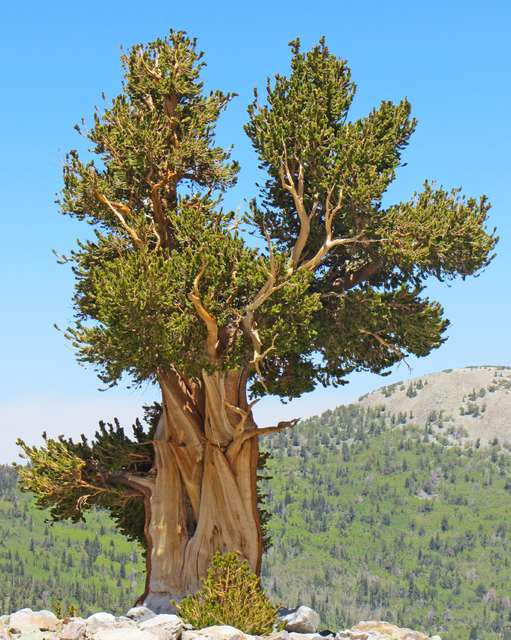 The Great Basin bristlecone pine, shown here in a photo by U.S. Forest Service researcher Barbara Bentz, has strong natural defenses against destructive pine beetles, a new study shows. (U.S. Fore ...