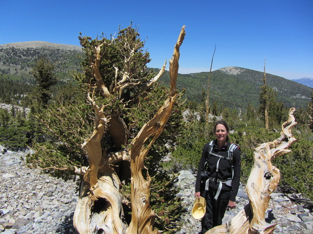 U.S. Forest Service scientist Barbara Bentz poses with a bristlecone pine tree in this undated photo from field research conducted during the summer of 2014. (U.S. Forest Service)