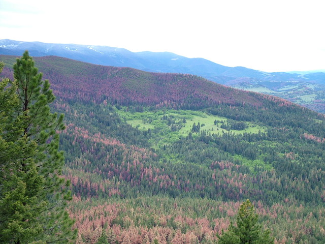 Trees killed by pine beetles cover the landscape in this undated photo. (U.S. Forest Service)