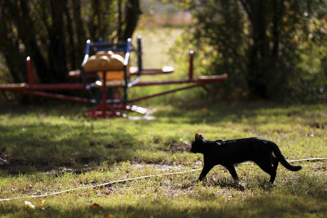 A cat roams around Bundy Ranch in Bunkerville on Friday, Oct. 28, 2016. Members of an armed group that staged a takeover of the Malheur National Wildlife Refuge near Burns, Ore., including Ammon a ...
