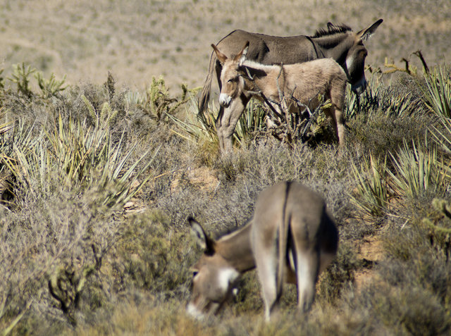 Wild burros graze along the side of Bonnie Springs Road near Red Rock Canyon National Recreation Area in Las Vegas on Monday, Aug. 8, 2016. The Bureau of Land Management is currently rounding up s ...